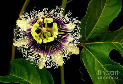 Passion Fruit Photograph - Passion Flower by James Temple