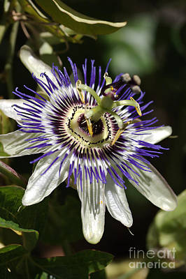 Passion-flower Art Print by Joy Watson