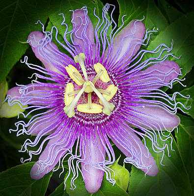 Passiflora Photograph - Passion Flower by Judy Vincent
