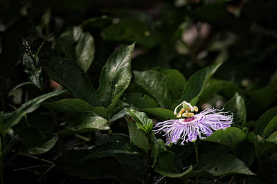 Photograph - Passion Flower by Michael Dougherty