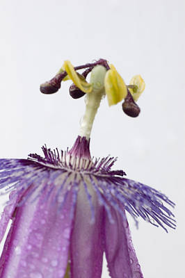 Photograph - Passion Flower by Robert Culver