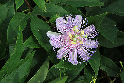 Photograph - Passion Flower Vine by Ira Runyan