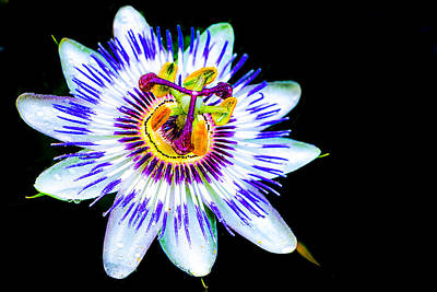 Passion Flower Vine Art Print by Keith Homan