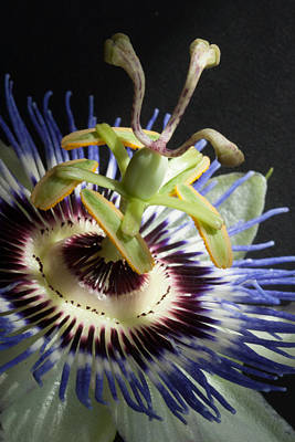 Passion Flowers Photograph - Passion Flower by W Chris Fooshee