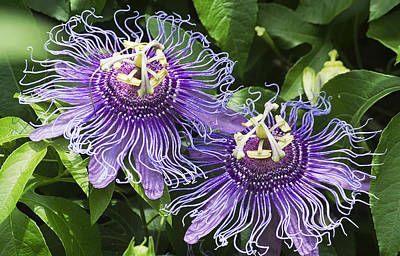 Passion Flowers Art Print