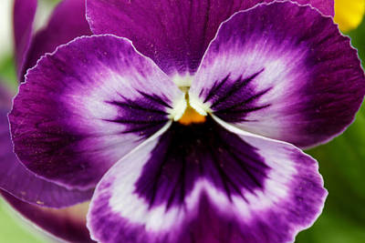 Photograph - Passion In Purple Pansy by Denyse Duhaime