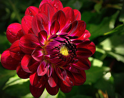 Photograph - Passionate Dahlia by Tikvah's Hope