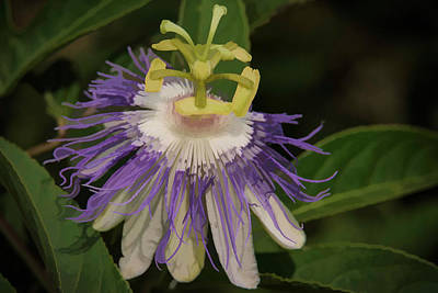 Passionflower Print by Charlie Choc