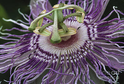 Passiflora Photograph - Passionflower by Steven Foster
