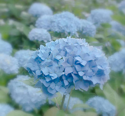 Pastel Blue Hydrangea Art Print by Kim Hojnacki