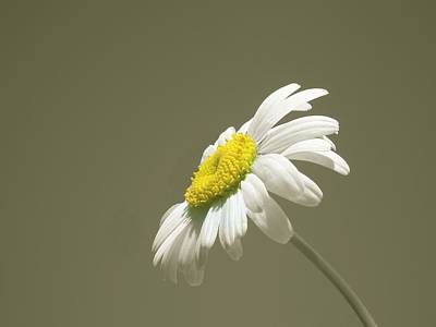 Cabin Wall Photograph - Pastel Daisy Flower by David Dehner