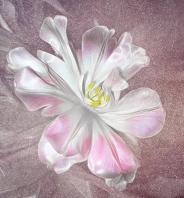 Photograph - Pastel Pale Pinktulip by Fiona Messenger
