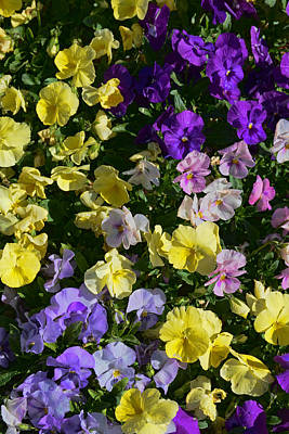 Photograph - Pastel Pansies by Jeanne May