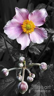 Mixed Media - Pastel Pink Anemone by Chalet Roome-Rigdon
