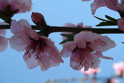 Photograph - Pastel Pink Of Peach Tree Blossom by Tracey Harrington-Simpson