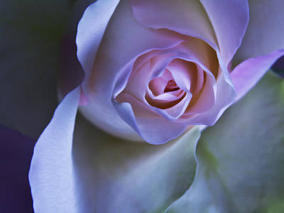 Photograph - Pastel Pink Rose - Macro Flower Photograph by Artecco Fine Art Photography