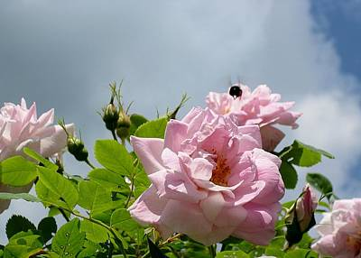 Photograph - Pastel Pink Roses With Bee by MTBobbins Photography