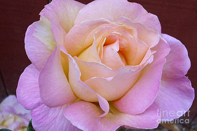 Photograph - Pastel Rainbow Rose by Paul Clinkunbroomer