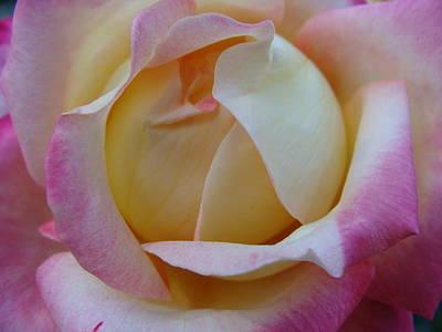 Pastel Rose Art Print by Brian Jones