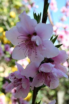 Pastel Shades Of Peach Tree Blossom Art Print by Tracey Harrington-Simpson