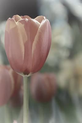Photograph - Pastel Tulip by Jeanne May