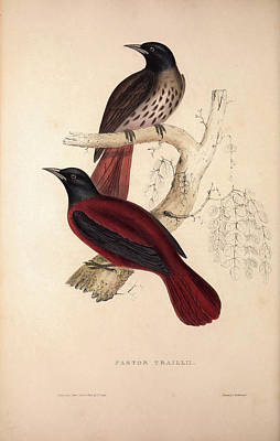 Asian Artist Drawing - Pastor Traillii. Birds From The Himalaya Mountains by Quint Lox