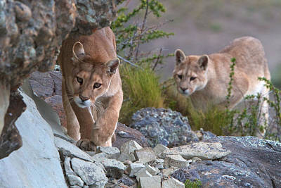 Photograph - Patagonia Pumas by David Beebe