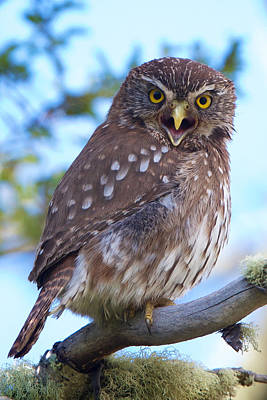 Photograph - Patagonia Pygmy Owl by David Beebe