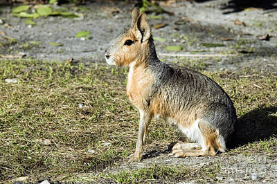 Patagonian Cavy Print by Mark Newman