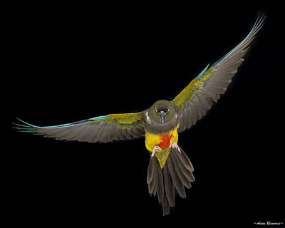 Photograph - Patagonian Conure In Flight 1 by Avian Resources