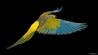 Photograph - Patagonian Conure In Flight 2 by Avian Resources