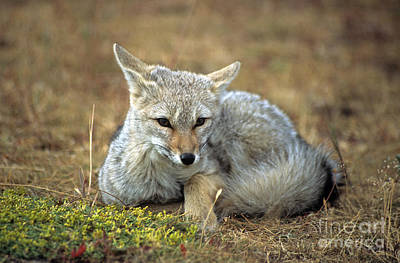 Zorro Photograph - Patagonian Grey Fox Portrait by James Brunker