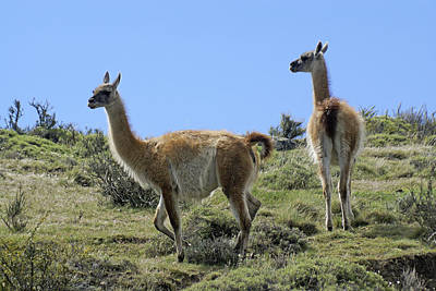 Llama Photograph - Patagonian Guanacos by Michele Burgess