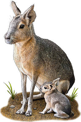 Photograph - Patagonian Mara, D. Patagonum by Roger Hall