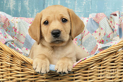 Labrador Digital Art - Patchwork Puppy Dp793 by Greg Cuddiford