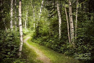 Path In Birch Forest Art Print by Elena Elisseeva