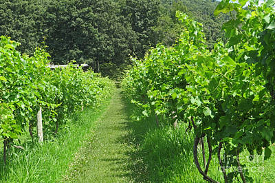 Photograph - Path Thru The Vineyard by Dawn Gari