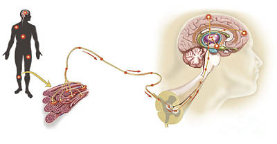 Lobe Digital Art - Pathway Of A Pain Message Via Sensory by TriFocal Communications