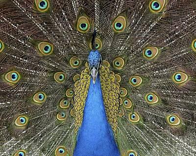 Patient Peacock Art Print