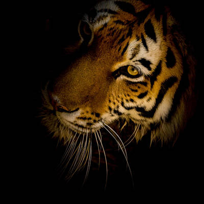 Siberian Tiger Photograph - Patiently Waiting by Ernie Echols