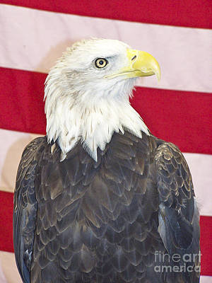 Photograph - Patriotic Bald Eagle by Tom Doud