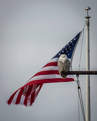 Photograph - Patriotic Snow Owl by Paul Treseler