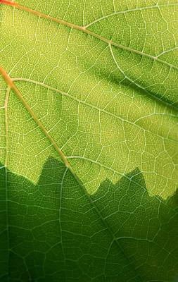 Grape Leaves Photograph - Patterns In Nature by Heidi Smith