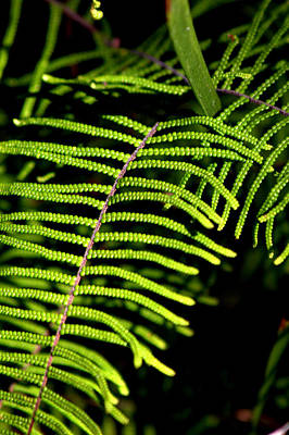 Photograph - Pauched Coral Fern by Miroslava Jurcik