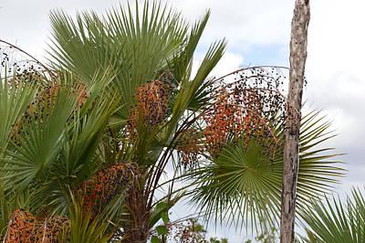 Photograph - Paurotis Palm Acoelorrhaphe Wrightii by rd Erickson