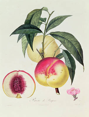 Peach Drawing - Pavie De Pompone by Pierre Antoine Poiteau
