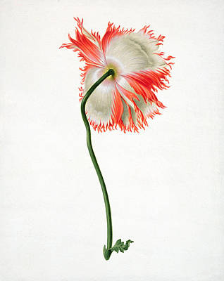 Poppies Field Drawing - Field Poppy by Pieter Withoos