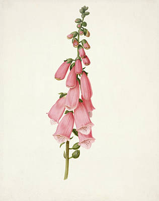 Springtime Drawing - Foxglove by Pieter Withoos