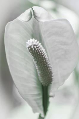 Eureka Springs Photograph - Peace Lily Elegance by Carolyn Marshall