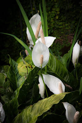 Photograph - Peace Lily Or Spath Lily  by Rich Franco